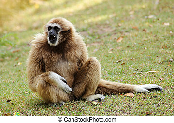 lar gibbon is sitting on the grass