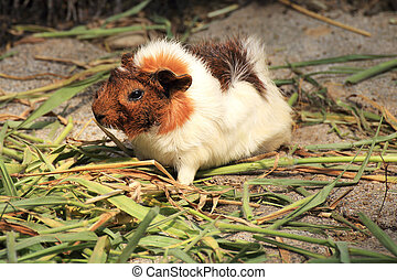 Guinea pig eating the grass on the floor
