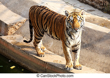 Bengal Tiger standing near in the lake
