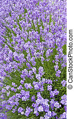 Lavender plants shot in a panoramic vertical format