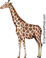 A giraffe - Illustration of a giraffe on a white background