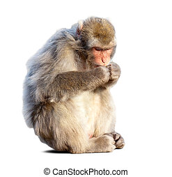 Eating Japanese macaque (Macaca fuscata). Isolated over...