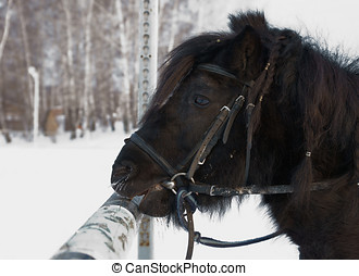 Black Shetland pony outdoor