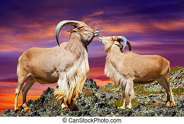 Loving couple of barbary sheeps  on rock in sunset
