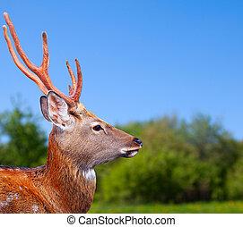 Head of Sika deer - Head of Sika deer (Cervus nippon) in...