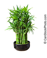 bamboo in a pot