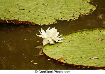 Giant water lily (Vicoria amazonica) at first night...