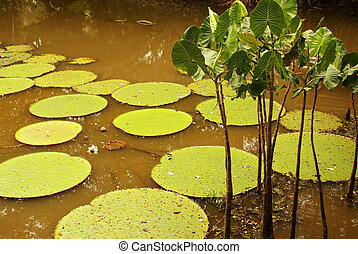 Giant water lily Vicoria amazonica at first night flowering...
