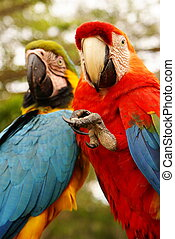 Couple of macaw parrots