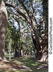 Sun and Shade in Southern Oaks - A grassy park overhanging...
