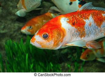 Gold fish in aquarium with grass