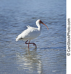 White Ibis Walking In The Water.
