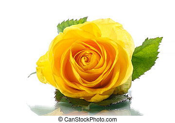 yellow rose - Beautiful yellow rose on a white background