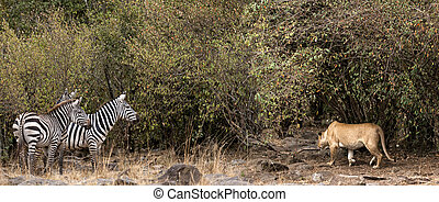 African lioness prey on zebra - African lioness stalking...