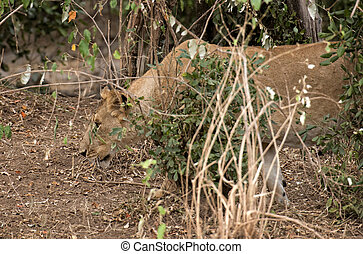 Pregnant lioness hunting in bushes - African lioness prowls...