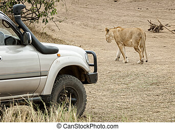 close encounter with hunting lioness