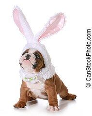 bulldog bunny - dog dressed up like a bunny isolated on...
