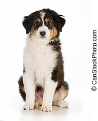 cute puppy - young Australian Shepard puppy sitting isolated...