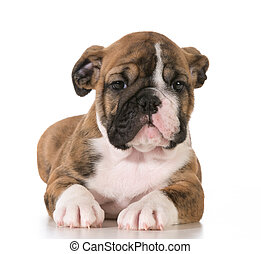 bulldog puppy female 8 weeks old isolated on white...
