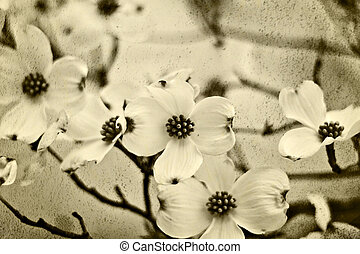 Dogwood blossoms in sepia tones