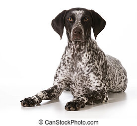 german shorthaired pointer female laying down looking at...