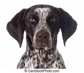 german shorthaired pointer portrait isolated on white -...