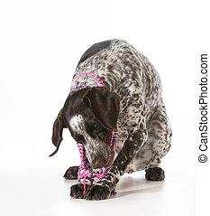 naughty dog - bad dog - naughty german shorthaired pointer...