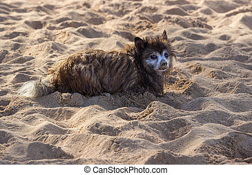Sad small dog or puppy on sandy beach - Wet bedraggled and...