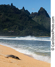 Monk Seal on Tunnels beach Kauai - Hawaiian monk seal rests...
