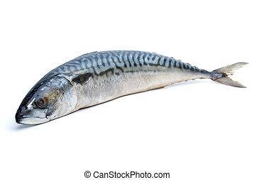 Single fresh mackerel fish isolated on the white background...