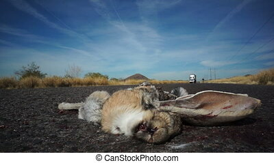 Roadkill Rabbit Truck Passing - Close up shot of a dead...