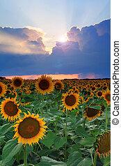 Sunflower on the sunset