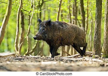 Wild boar in their natural habitat in the spring