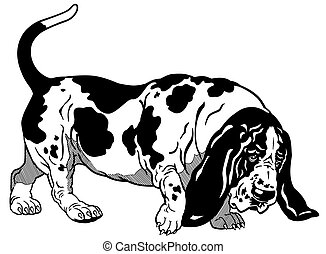 basset hound black white - dog basset hound breed, black and...