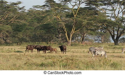 African buffaloes and plains zebras among Acacia trees, Lake...