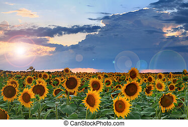 Panorama of sunflowers on the sunset