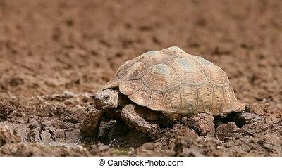 Leopard tortoise (Stigmochelys pardalis) drinking water,...