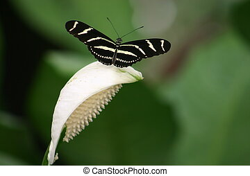 Zebra Butterfly - Zebra butterfly sits atop a Callis Lilly