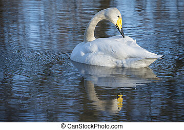 Whooper Swan, preening with reflection