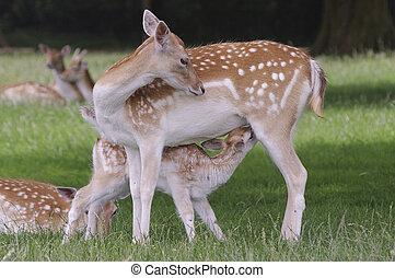 Fallow Deer - Mother suckling fawn