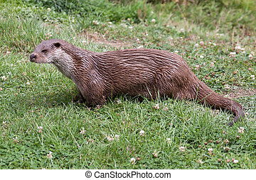 Otter at the British Wildlife Centre