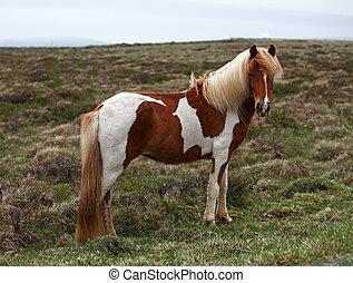 Islandia, caballo