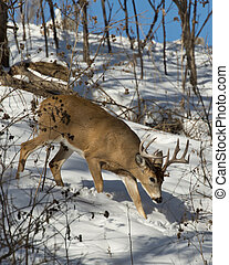 Walking Buck - A large Whitetail Buck on a cold winter day
