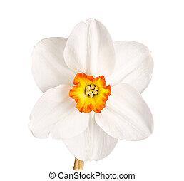 Single flower and stem of the red-rimmed, small yellow cup daffodil cultivar Excetement against a white background