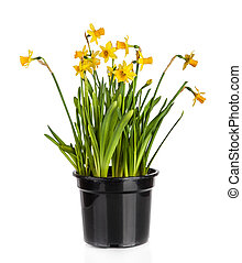 Beautiful Yellow Daffodils flowers in pot isolated on white background