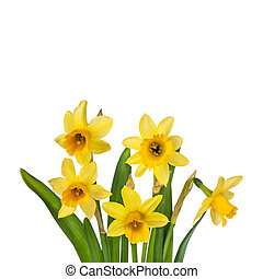 Beautiful Yellow Daffodils flowers isolated on white...