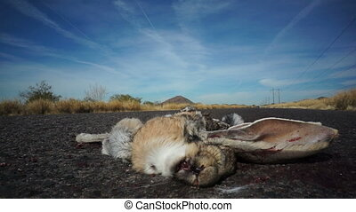 Roadkill Jackrabbit with Flies - Close up shot of a...
