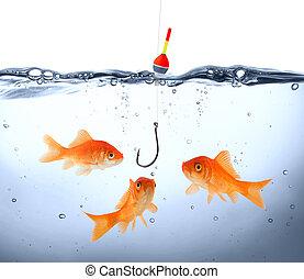 goldfish, perigo
