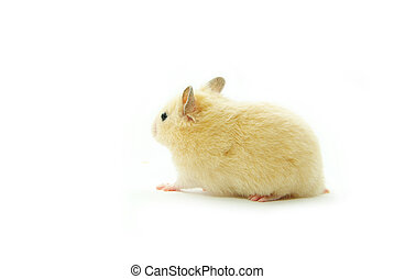 hamster  - Hamster in front of a white background