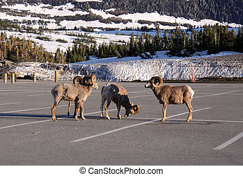 Mountain goats gathering in the parking lot